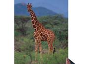 網紋長頸鹿