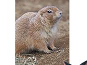 草原土撥鼠