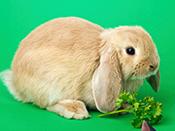 荷蘭垂耳兔